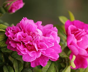 玫瑰花茶新花预售